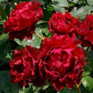 Роза Hommage a Barbara (Омаж а Барбара) штамбовая 90+ см