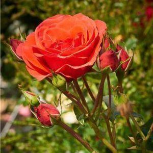 Роза Jive (Джайв) 200-250 см