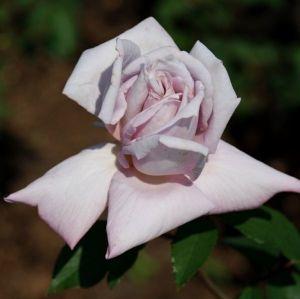 Роза Декоплант Lady X (Леди Икс) штамбовая 90+см