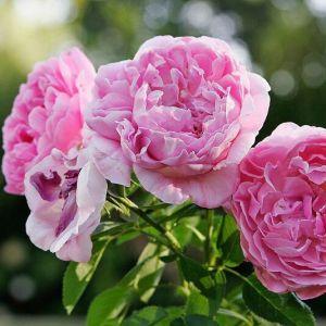 Роза Мерлин (Merlin) 60-70 см