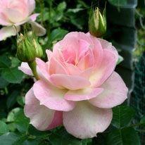 Роза Pink Champagne (Пинк Шампань) плетистая