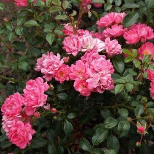 Роза Pink Fairy (Пинк Фейри) почвопокровная
