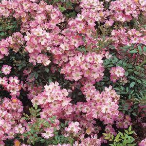 Роза Pink Spray (Пинк Спрей) 40-60 см