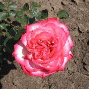 Роза Rina Herholdt (Рина Херхольд)