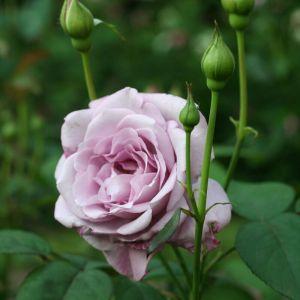 Роза Silver Star (Сильвер Стар) штамбовая 90+ см