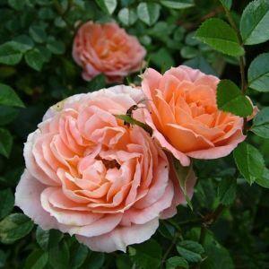 Роза Sweet Dream (Свит Дрим) 40 -50 см