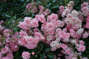 Роза The Fairy (Зе Фейри) штамбовая 90+ см
