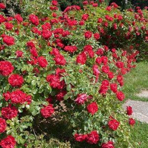 Роза Scarlet Meillandecor (Скарлет Мейландекор)