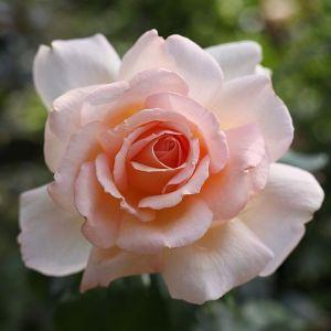 Роза Solo Cream (Соло Крем) 80-130 см