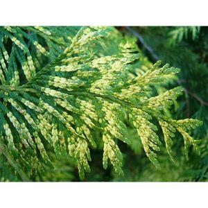 Туя складчатая Зебрина (Zebrina) 60-70 см