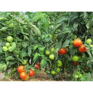 Коричневые пятна на листьях винограда: лечение