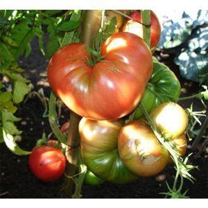 томат богатырь фото отзывы