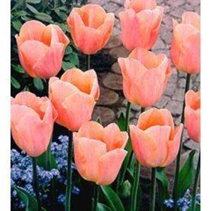 Тюльпан Apricot Beauty (Эйприкот Бьюти)