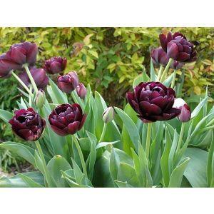 Тюльпан махровый Black Hero (Блек Хиро)