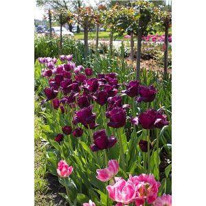Тюльпан Black Jewel (Блек Джевел)