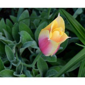 Тюльпан Blushing Lady (Блашинг Леди)