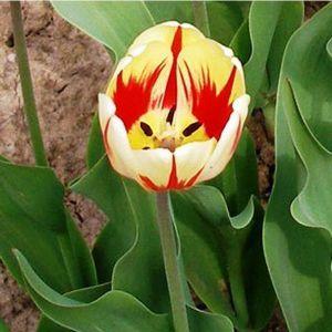 Тюльпан Burning Heart (Бернинг Харт)