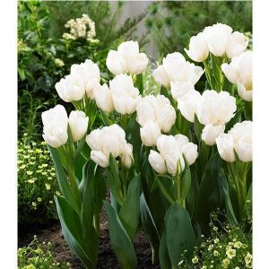 Тюльпан Global Desire (Глобал Дезаир)