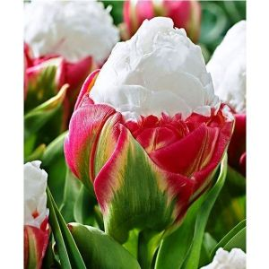 Тюльпан Ice Cream (Айс Крим)