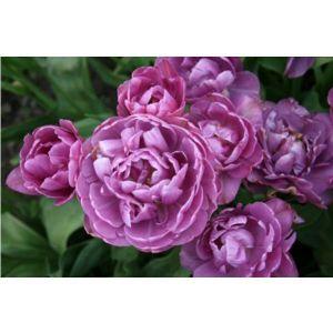 Тюльпан Lilac Perfection (Лайлек Перфекшн)