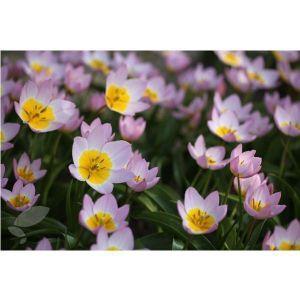 Тюльпан Lilac Wonder (Лилак Вондер)