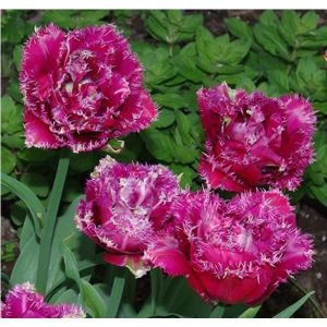 Тюльпан Mascotte (Маскотте)