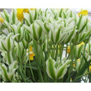 Тюльпан Spring Green (Спринг Грин)