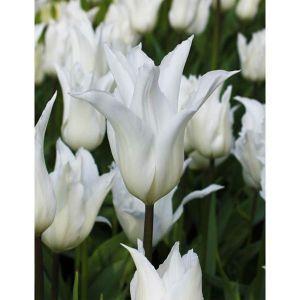Тюльпан White Triumphator (Вайт Триумфатор)