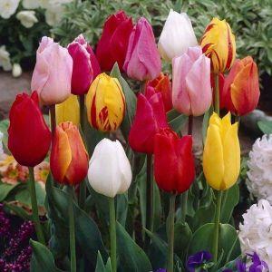 Тюльпаны немахровые микс