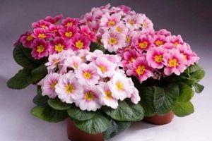 Удобрение Master (Мастер) для Комнатных цветущих растений 25 г