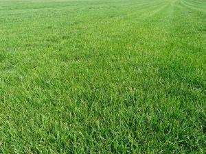 Газонная трава Mini 1 кг