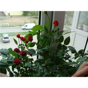 Удобрение Успех для роз