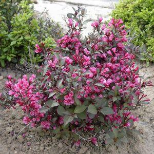 Вейгела Purpurea (Пурпуреа)