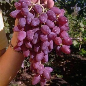 Виноград Персей розовый Декоплант