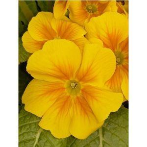 Виола ампельная желтая
