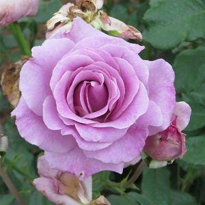 Роза Violette Parfume Climbing (Виолет Парфум плетистый)