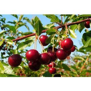 Бизнес по выращиванию вишни 64
