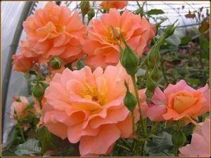 Роза Декоплант Westerland (Вестерленд) 180-200 см