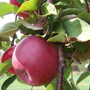 Яблоня Макинтош