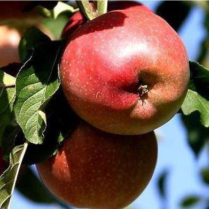 Яблоня колоновидная Антей