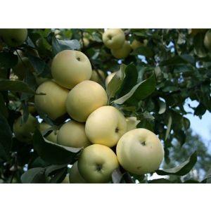 Яблоня Белый Налив 2-х летняя