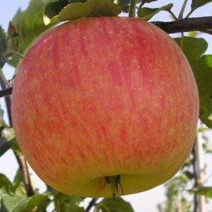 Яблоня в контейнере Делькорф, 150-210 см