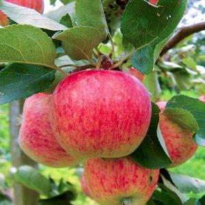 Яблоня Пирос летняя