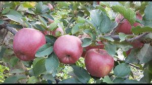Яблоня Старкримсон осенняя