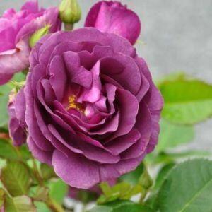 Штамбовые розы - посадка, уход и обрезка