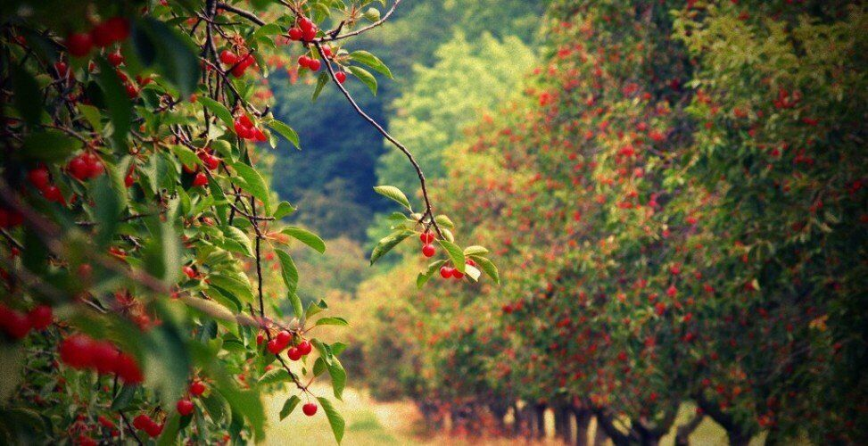 Особенности опыления плодовых деревьев