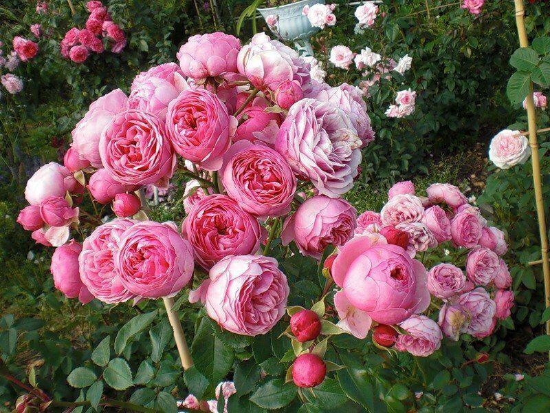 Розы кордеса каталог купить оригинальный подарок женщине 8 марта