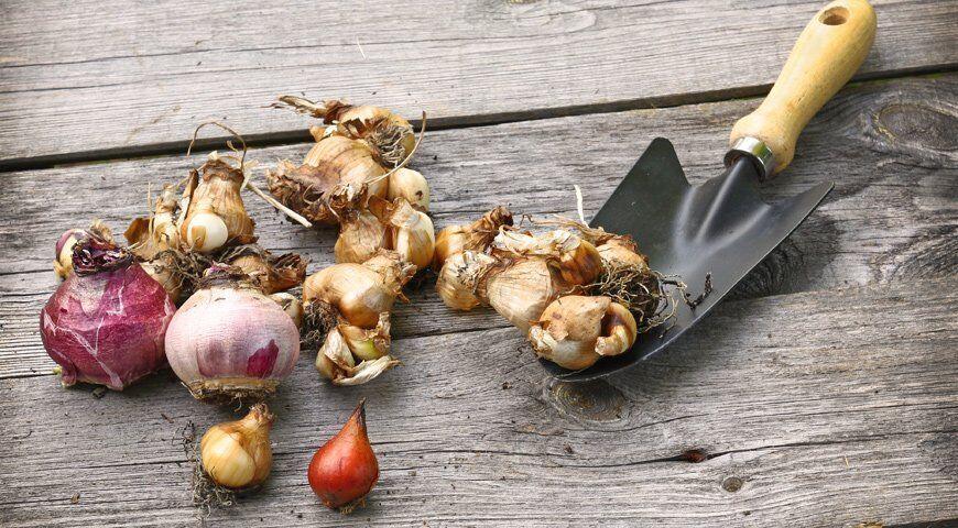 Сроки посадки луковичных цветов осенью