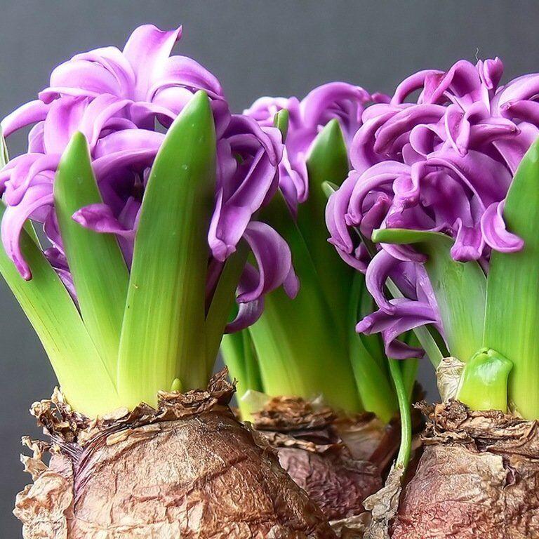 Заказ весенних цветов луковиц живые цветы в новосибирске дешевые