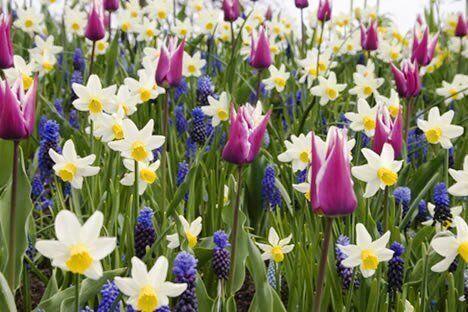 Заказ луковичных цветов доставка цветов в ноябрьске тел
